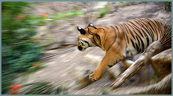 Support Tiger Organizations